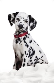 Greg Cuddiford - Dalmatian puppy
