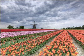 Roberto Moiola - Dark clouds over fields of multicolored tulips and windmill, Berkmeer, Koggenland, North Holland, Ne