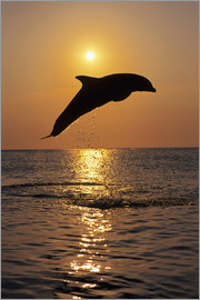 Tom Soucek - Dolphin in the sunset