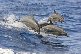 Dave Fleetham - Dolphins jump in
