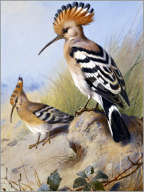 Archibald Thorburn - The hoopoe, 1924