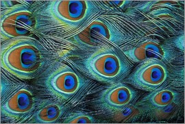 Adam Jones - Detail of the feathers of a male peacock