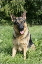 Greg Cuddiford - German Shepherd