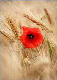 Falko Follert - Red poppy in wheat field 2