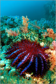 Dave Fleetham - Crown-of-thorns starfish