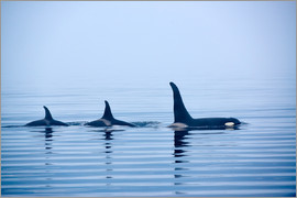 Jürgen Ritterbach - Three Killer whales with huge dorsal fins