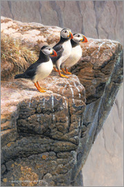 Tree puffins at the edge of rock