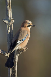 Janette Hill - Eurasian jay on a small branch