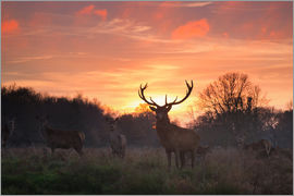 Alex Saberi - A Red deer stag, Cervus elaphus, standing in London's Richmond Park.