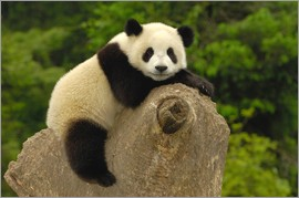 Pete Oxford - A panda baby sits on a tree trunk