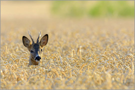 Radius Images - A deer in the field