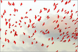 Scarlet ibis (Eudocimus ruber) flock in flight