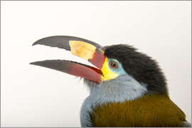 Joel Sartore - A plate billed mountain toucan