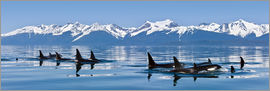 John Hyde - A group of Orcas