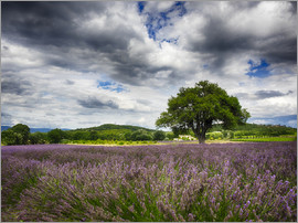 Terry Eggers - Lone Tree at Lavender Field