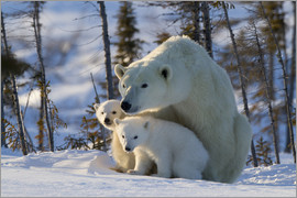 David Jenkins - Polar bear (Ursus maritimus) with cubs, Canada