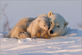 David Jenkins - Polar bear and cub, Wapusk National Park