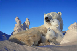 Tom Soucek - Polar bears cuddling in snow