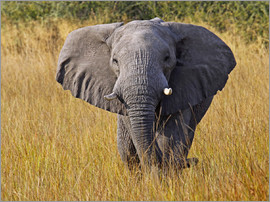 wiw - Elephant in the gras - Africa wildlife