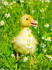 Duckling on flowery meadow