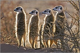 Tony Camacho - Meerkats on guard duty