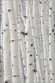 Charles Gurche - Aspens in Gunnison National Forest