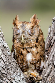 Screech-Owl eating grasshopper