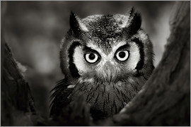 Johan Swanepoel - White-faced Owl perched in a tree
