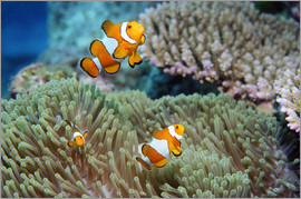 Georgette Douwma - False clown anemonefish