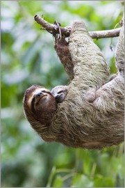 Jim Goldstein - Sloth with baby on branch