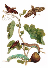 Maria Sibylla Merian - fig tree with lepidoptera metamorphosis