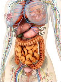 Stocktrek Images - Female body showing digestive and circulatory system.