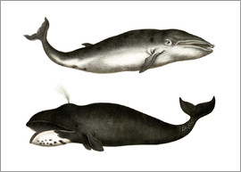 German School - Fin Whale
