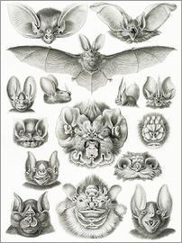 Ernst Haeckel - Chiroptera bat heads and faces.