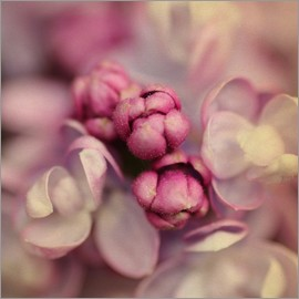 Evelyn Meyer - Lilac