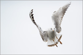 Peter Wey - Flying black headed gull (lat. Chroicocephalus ridibundus) against white sky