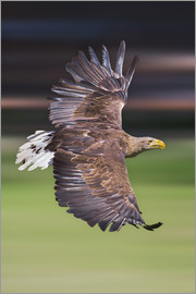 Frank Fischbach - Flying white-tailed eagle
