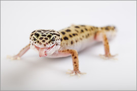 Naughty Gecko