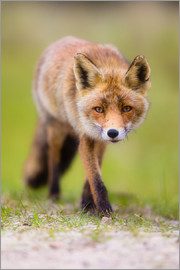 Moqui, Daniela Beyer - red fox