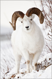 Doug Lindstrand - Full Curl Dall Sheep