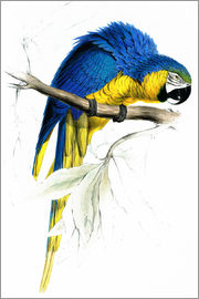 Edward Lear - Blue & Yellow Macaw