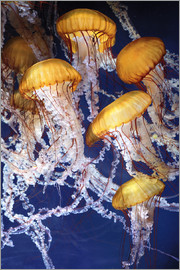 Yellow jellyfish in the ocean