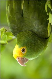 Pete Oxford - Yellow-headed Amazon
