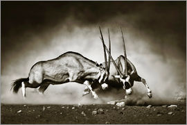 Johan Swanepoel - Gemsbok antelope fighting in dusty sandy desert