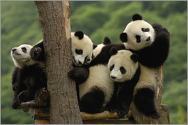 Pete Oxford - Giant panda babies (Ailuropoda melanoleuca) Family: Ailuropodidae. Wolong China Conservation and Res