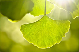 Atteloi - Ginkgo leaves