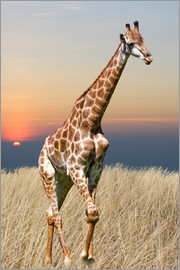 Giraffe - African wilderness