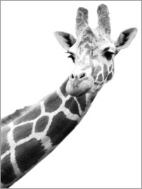 Darren Greenwood - A Giraffe in black and white