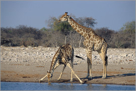 Peter Chadwick - Giraffes at a waterhole