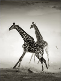 Johan Swanepoel - Giraffes running in the dust